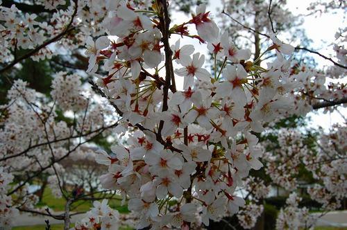 南公園桜.jpg