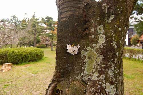 南公園桜小さい.jpg