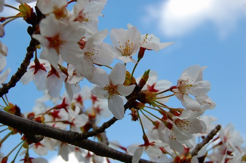 南公園桜UP.jpg